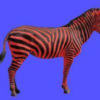 Buntes Zebra