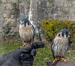 Buntfalke (Falco sparverius) 1