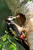 Buntspecht bei der Fütterung der Jungvögel...