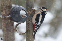 Buntspecht im Schneegestöber