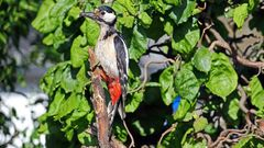Buntspecht Weibchen-Dendrocopus major liebt auch....