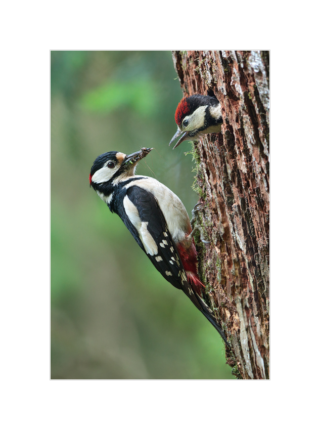 Buntspechtmännchen füttert seinen Jungen