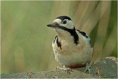 Buntspechtweibchenportrait ( Picoides major )