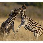 Burchell's Zebra fighting - Kruger National Park - South Africa