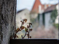 Burg-Efeu