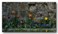 Burgmauerblümchen