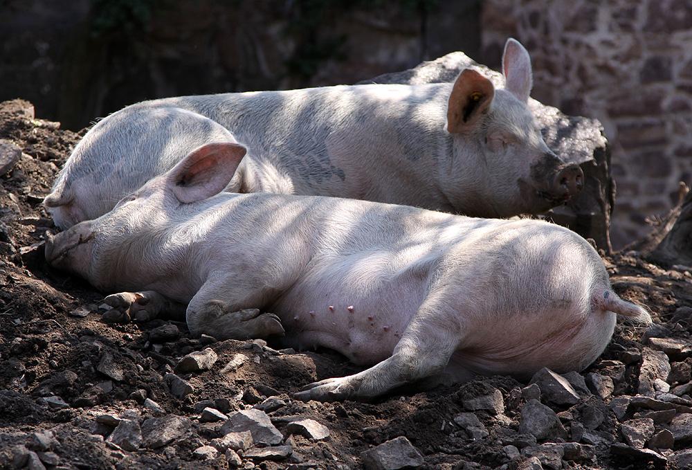 Burgschweine