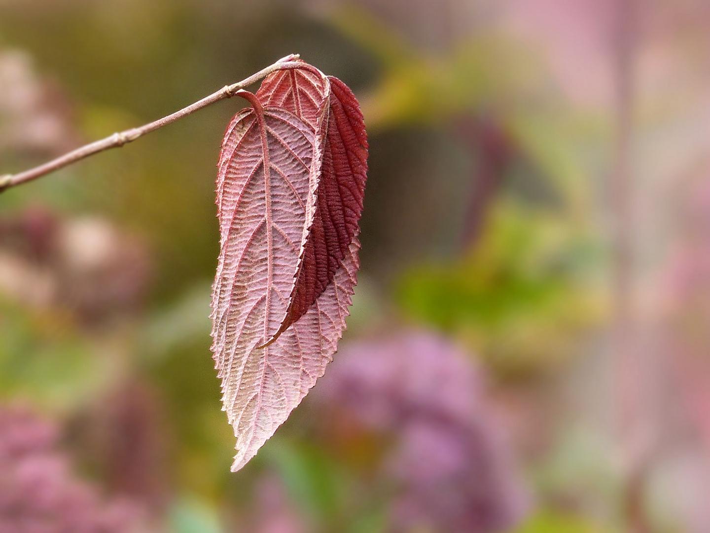 ... burgundy leaves