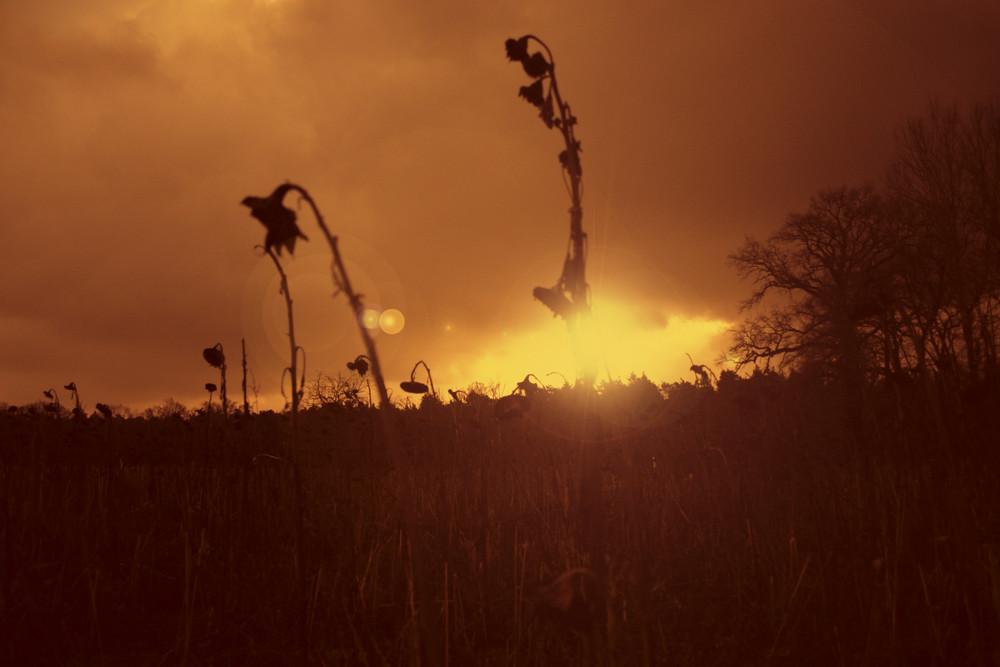 burning Sunflower,s