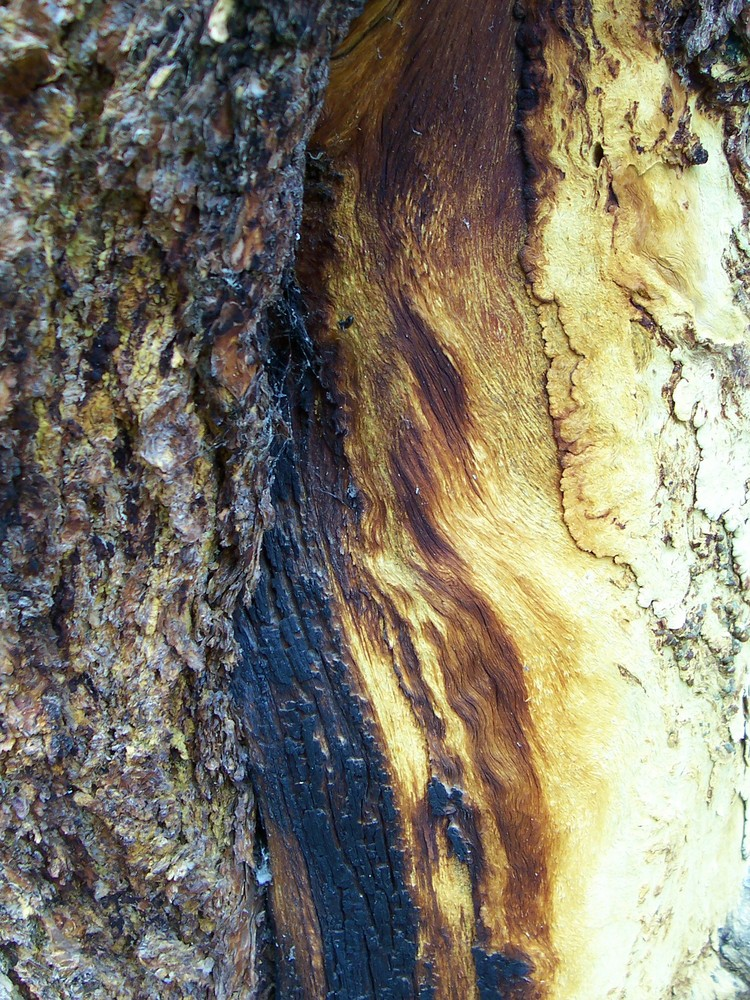 Burnt tree closeup