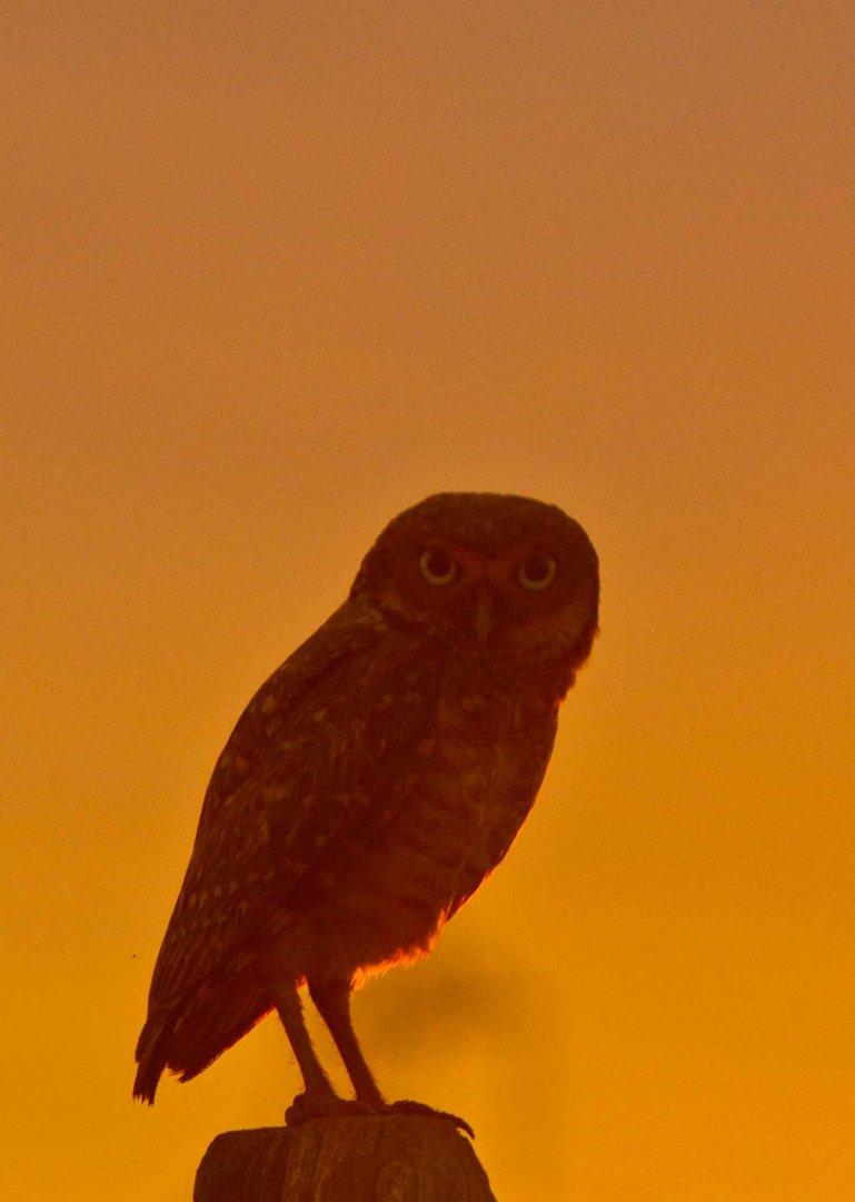 Burrowing owl at sunset