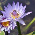 Buscando polen