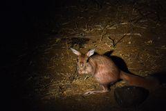 Busch Känguru