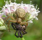 Busch-Krabbenspinne (Xysticus cristatus)