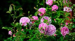 Buschige Gartenrosen in voller Blüte
