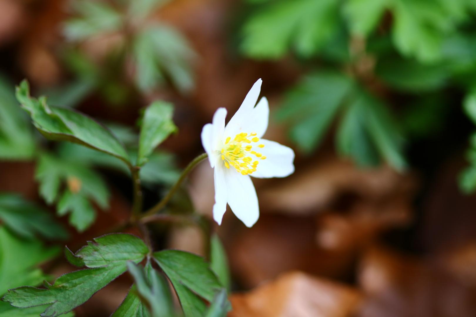 Buschwindröschen - Anemone nemorosa