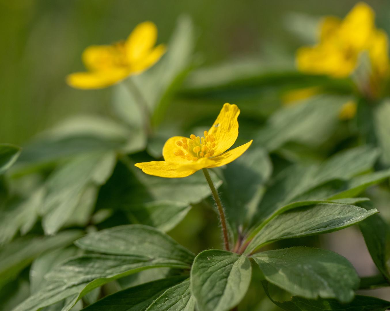 Buschwindröschen - gelb