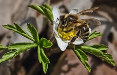 Buschwindröschen mit Biene