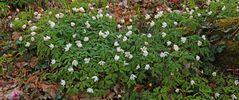 Buschwindröschen-Ranunculaceae oder auch Anemone nemerosa...