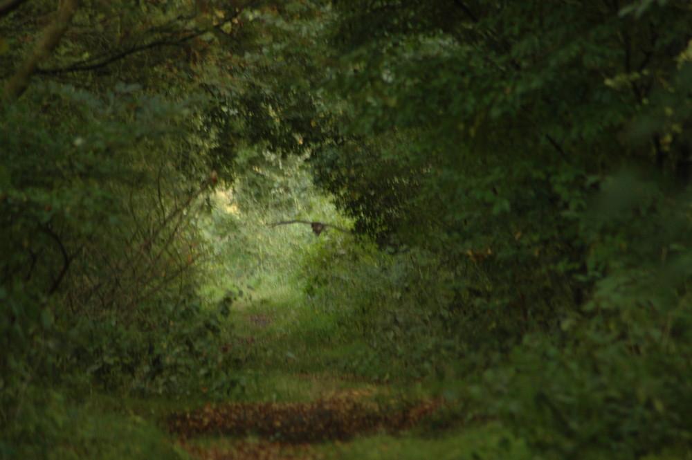 Bussard im Wald