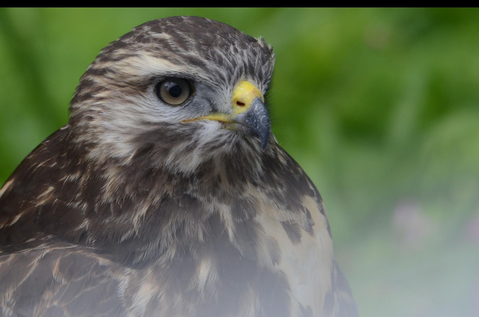 Bussard - Jungvogel