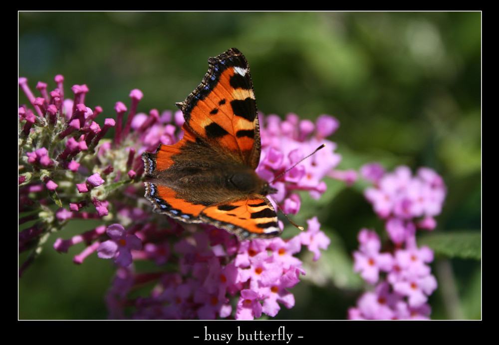 busy butterfly