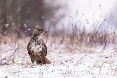 Buteo buteo im Schnee