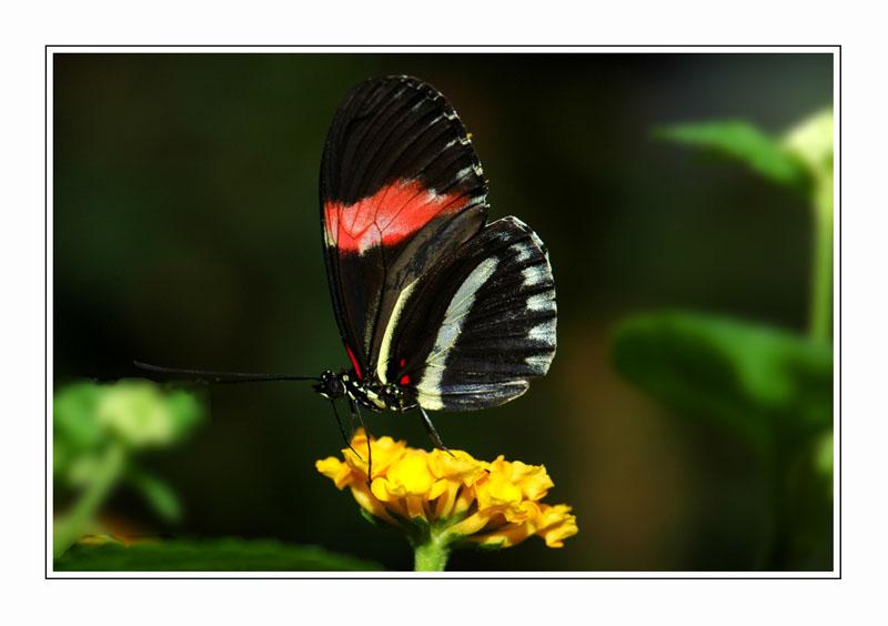 Butinage d'un papillon