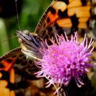 butine butine petit papillon!!!!