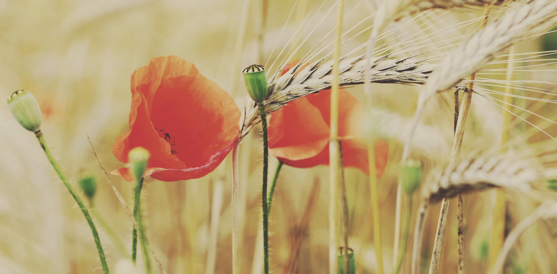 Buttercream Poppy