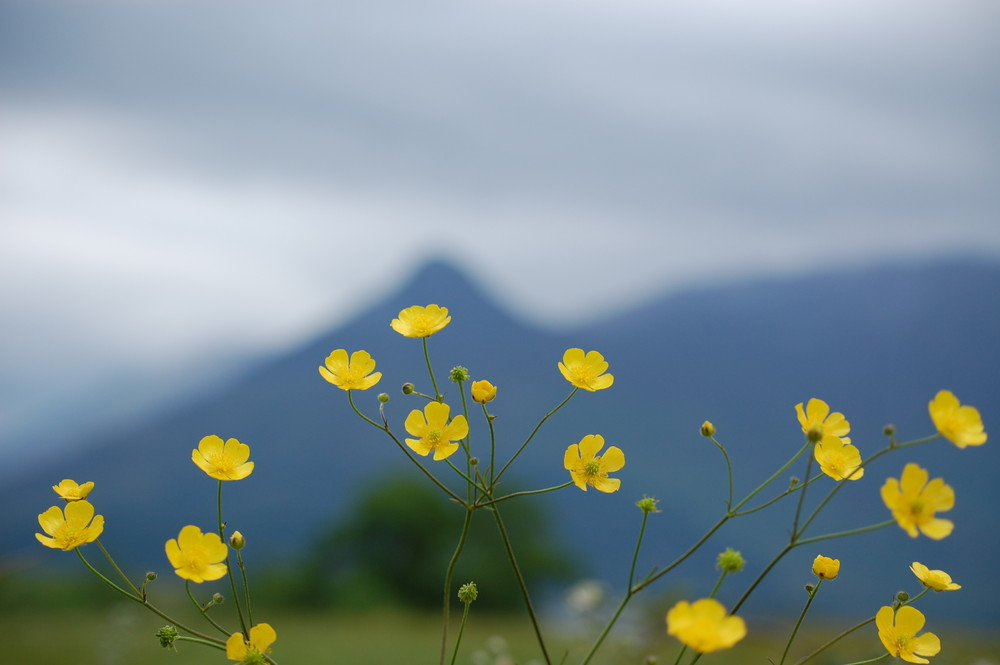 Buttercups and the Pap of Glencoe, Scottish Highlands