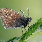 Butterfly and Dew