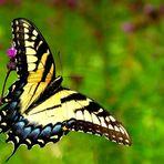Butterfly .