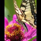 Butterfly - Calimanesti - Romania 2007.001