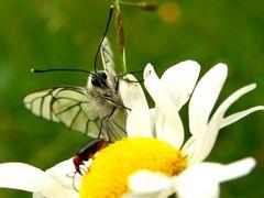 Butterfly die 2.