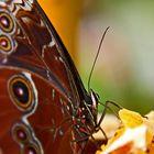 butterfly eats from a orange