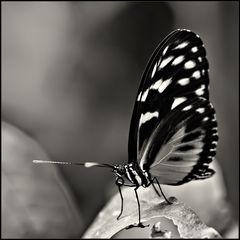 ~ Butterfly II ~