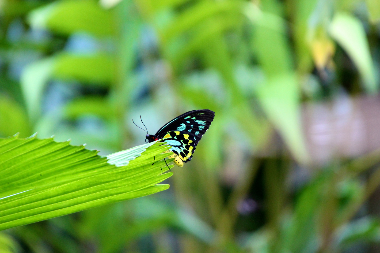 Butterfly in Cairns