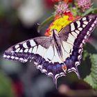 butterfly in Greece (Creta)