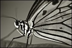 ~ Butterfly IV ~