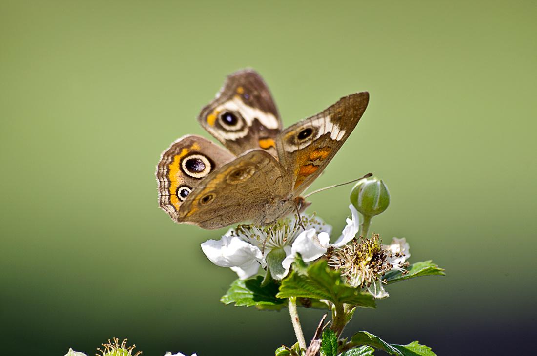 Butterfly on Blackberry