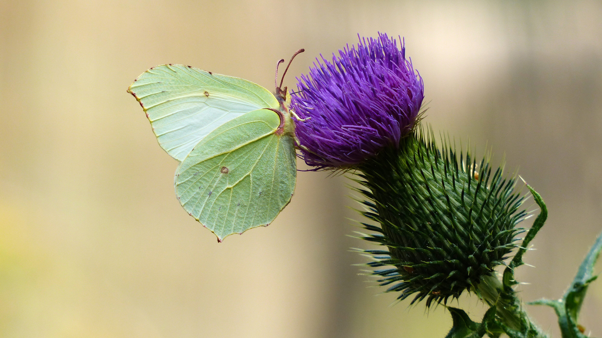 ... butterfly on the flower of burdock
