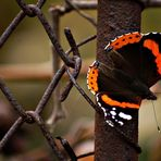 Butterfly on vine fence