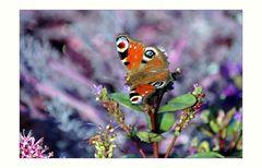 Butterfly - Schmetterling - Papillon