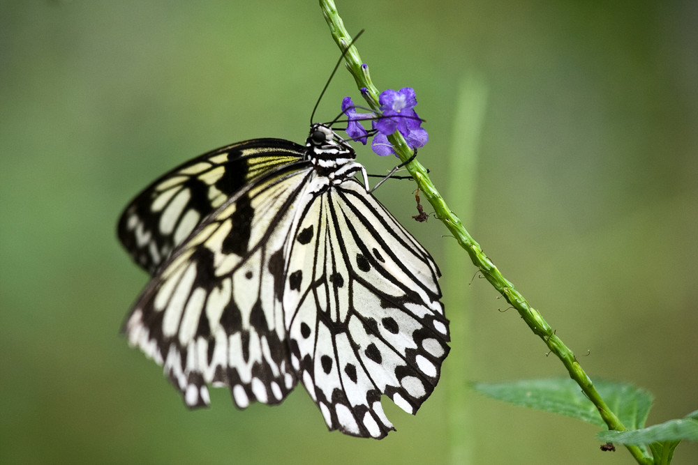 Butterfly - South Africa