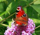 Butterfly-Summer 1