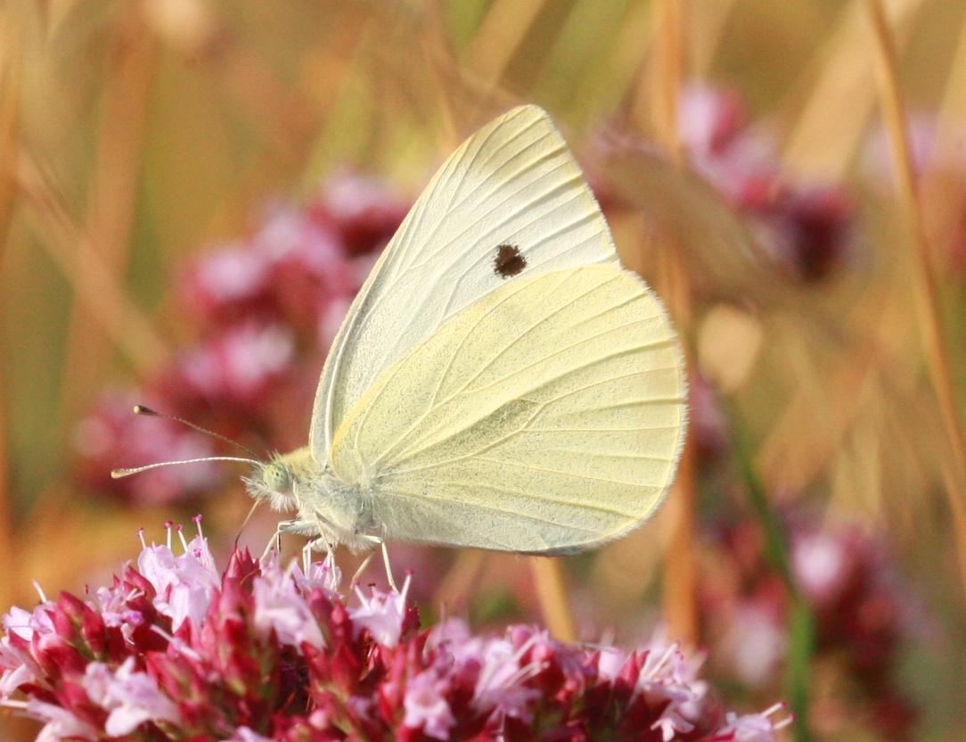 Butterfly-Summer 7