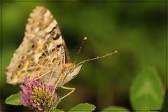 Butterfly teardrops 1.1