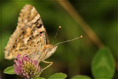 Butterfly teardrops