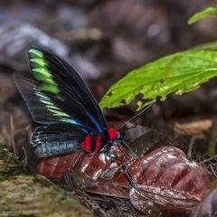 Butterfly (Trogonoptera brookiana)